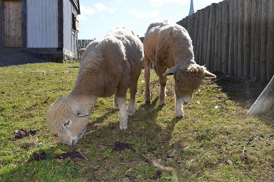 Closeup of two sheep grazing in a yard